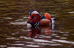 mandarin duck (Robert Stienstra Photography) Tags: park nature netherlands arnhem ducks mandarinducks sonsbeekpark birdsanimals arnhemgelderland