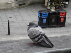 Cold Pidgeon (Elouise2009) Tags: bird pidgeon