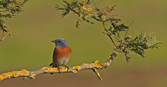 Bluebird of Happiness (cetch1) Tags: nature birds birding bluebird thrush westernbluebird sialiamexicana lasgallinaswildlifeponds birdsofnortherncalifornia northerncaliforniawildlife