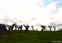 Meshmesh - Lebanon (Hanna Khoury) Tags: trees lebanon tree nature landscape arbres nuages paysage arbre liban لبنان jbeil منظر شجرة غيوم طبيعة غيم جبيل شجر غيمة مشمش mechmech