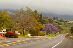 Kula (hawaiiansupaman) Tags: road sky tree clouds hawaii highway purple maui haleakala jacaranda kula