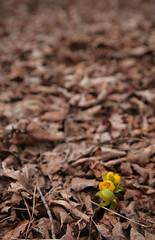 Spring (peterkelly) Tags: ontario canada flower leaves yellow digital dead spring guelph northamerica emerge eranthis