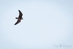 flying hawk (Cloudtail the Snow Leopard) Tags: bird animal zoo fly hawk tier vogel fliegen falke flug amneville