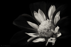 Dahlia (Explored) (jon.a_hession) Tags: flower plant nature dahlia blackwhite black white muted lowkey macro tabletop closeup flash stilllife macromondays flowersinblackandwhite nikon tokina d700 tokinaatxm100prod100mmf28macro