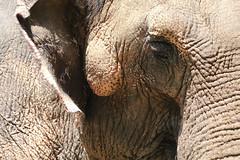 Elephant textures (RPahre) Tags: elephant eye skin ear wrinkles