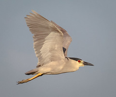 Black Crowned Night Heron (tresed47) Tags: 2016 201607jul 20160706njoceancitybirds birds blackcrownednightheron canon7d content folder heron newjersey oceancity peterscamera petersphotos places takenby us