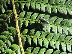 (Laura Rubio Lareu) Tags: mosca green nature insect insecto