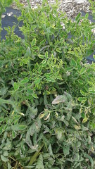 Tomato yellow leaf curl virus (Scot Nelson) Tags: tomato yellow leaf curl virus