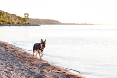 Artoo at Sunrise (MorboKat) Tags: toronto dog canine canis canislupus canisfamiliaris canislupusfamiliaris canidae carnivore carnivora mammal mammalia animal animalia pet summer outdoor beach eastyork beaches thebeaches thebeach lakeontario lake morning sunrise germanshepherd germanshepherddog gsd alsatian alsatianwolfdog deutscherschferhund schferhund purebred purebreed purebreddog domesticdog bergerallemand dsh shepherd