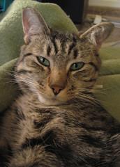 Catching Chestnut Half-Awake (Robb Wilson) Tags: chestnut graytabbycat female cat femalecat glendale