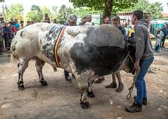 Belgium : Wemmel, Jaarmarkt 2016 #22 (foto_morgana) Tags: animals begium belgique belgium belgi bull cattle cow jaarmarkt2016 mammalia mammals mammifres nature outdoor sugetiere wemmel zoogdieren