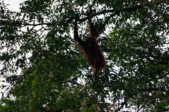Orang-Utan, Sungai Kinabatangan River Excursion, Day 3, Sabah, Malaysia (ARNAUD_Z_VOYAGE) Tags: kota kinabalu sabah malaysia island borneo eastern river landscape boat capital district rajang mosque house building street jesselton west state coast mount sea market color