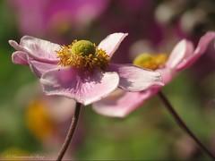 Good morning (Manon van der Burg) Tags: herfstanemoon pink flower sx60 natuur naturelover naturephotography naturephoto depthoffield powerrrrrshot hesback