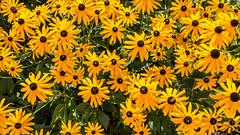 A garden full of Suns (++sepp++) Tags: garten natur garden nature sonnenhut rudbeckiafulgida coneflower orange blumen flowers blossoms blten