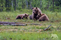 Brown Bear Family (fascinationwildlife) Tags: animal mammal europe european brown bear braunbr br cub sow taiga forest tree swamp family northern finland finnland summer predator