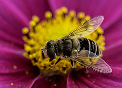 Lurking in the Cosmos (johnroberts676) Tags: insect flower closeup macro cosmos d800 nikon