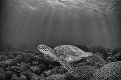 Turtle. Rays. (merbert2012) Tags: turtle bw rays sea ocean philippines diving scuba tauchen nature wildlife underwater underwaterphotography nikond800 aquaticahousing fisheye holiday island pacific wellbeachdiveresort