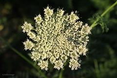 Carrot blooming (klarikris) Tags: vegetable garden horta cenoura zanahoria flores huerta gemse garten