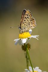 Le butin (regisfiacre) Tags: papillon butterfly schmetterling insecte insect bugs macro 100mm canon nature meadow prairie outside exterieur lepidoptera lépidoptère cuivré fuligineux lycaena tityrus