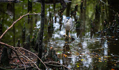 Among the Knees (Gabriel FW Koch (fb.me/FWKochPhotography on FB)) Tags: swamp bird heron bittern egret outside animal knees cypress tree water reflections nature wild wildlife eos dof canon 100mm lseries
