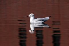 reflection, reflectie_003 (cees van gastel) Tags: ceesvangastel canoneos550d birds vogels meeuwen gulls water refectie reflection nature natuur waterdonkenbreda homemadetelef11