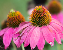 Faded Coneflower... (zoomclic) Tags: canon closeup colorful coneflower pink green yellow nature summer dof bokeh flower foliage plant 7d sigma150mmmacro zoomclicphotography garden saveearth