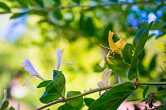 HoneySuckle (marshallross) Tags: flower plant nature nikon photography mothernature honeysuckle beautiful