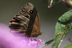 Minois (lincerosso) Tags: farfalle butterflies minoisdryas collina montagna estate valdarzino praterie colorebruno bellezza armonia