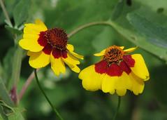 wild coreopsis (Vicki's Nature) Tags: coreopsis wildflowers yellow red two pair etowahriver canton georgia vickisnature canon s5 5505