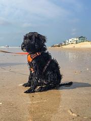 Beach Gabby 04 (crisp4dogs) Tags: gabby pwd portuguesewaterdog puppy crisp4dogs acrisp beach water nc topsailbeach