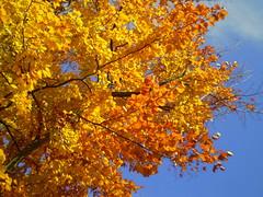 Hello Autumn (janalauri) Tags: autumn fall herbst tree yellow leaves foliage orange sky blue branch sunlight bright season nature baum ast bltter gelb himmel blau jahreszeit sonnenlicht licht