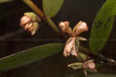 IMG_9471-0(W) Wild Orchids #21 (Vince_Adam Photography) Tags: wildorchid orchid borneo malaysia wildborneo rainforest mossyforest forest hutan orkid orkidliar flora flower bunga hairyorchids wildorchids