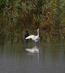 2016_08_1108 (petermit2) Tags: littleegret egret strumpshawfen tunstall norfolk rspb coot strumpshaw fen