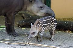 Zuid-Amerikaanse Tapir,Jong_03 (Nick Dijkstra) Tags: artis jong laaglandtapir southamericantapir tapirusterrestris zuidamerikaansetapir