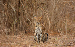 "WAITING (""NIMESHA DHANASEKERA"") Tags: leopard srilanka nature wildlife yala canon nimesha wilderness predator bigcat"
