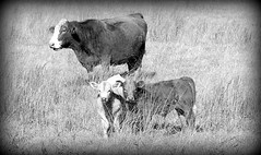 (Cherry_sunshine) Tags: blackandwhite bw cute animals cow babies foto cattle farm ko arkansas calf ozarks krava koei vache vaca lehm govs  krva  bf