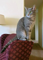 Millie 16 December 2012 2887Rif 5x7 (edgarandron - Busy!) Tags: cats cat feline tabby kitty kitties tabbies millie graytabby