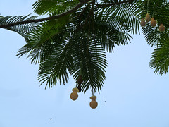 20121202_HoomaluhiaBG_ParkiaTimoriana_Cutler_P1380023ps (wlcutler) Tags: hawaii kaneohe fabaceae hoomaluhiabotanicalgarden Parkia timoriana