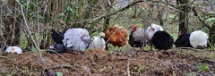 Chicken Panorama (Tinina67) Tags: chicken sussex huhn tina chicks poule hybrid bantam silkie frizzle kueken seidenhuhn legehuhn tinina67 strupphuhn