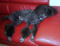 They got me a Natuzzi!.......Explore (Midnight and me) Tags: leather relaxing couch explore standardpoodle redleathercouch natuzzi blackstandardpoodle midnightandme