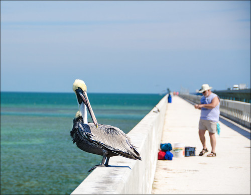 Pelican on 7 Mile Bridge