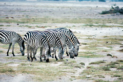 Common-Zebras-Kenya (Mark Siragusa) Tags: kenya safari africanwildlife zebrapainting zebrasgrazing commonzebras