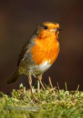 Robin (Nigel Dell) Tags: winter robin birds flickr wildlife places hampshire fleet fsg ngdphotos