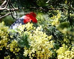 2213 Australian National Botanic Gardens - Canberra, ACT (Traveling Man – Traveling, back soon) Tags: red male bird nature fauna female garden emblem botanical grey head wildlife gang fluffy australia crest bushwalking botanic canberra sexual cockatoo act ngunnawal australiancapitalterritory callocephalonfimbriatum ganggangcockatoo bushwalks wiradjuri canonef100400mmf4556lisusm australiannationalbotanicgardens anbg canoneos50d faunal dichromatism markaveritt