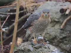 A +sparrowhawk 028 (ivorrichardk) Tags: