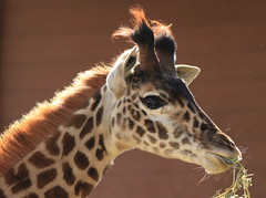 cutie (ranchodon) Tags: giraffe canont1i mygearandme