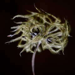 Clematis Seeds (Alan Drake) Tags: b abstract flower colour nature digital nikon natural clematis dried seedpod d7000 tgam:photodesk=detail2013