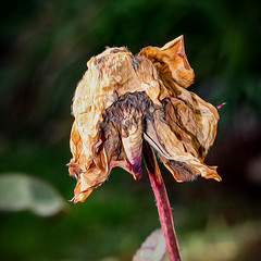 Wither (Vlad Khab) Tags: sun plant hot flower macro wither faded heat withered
