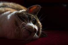 Punkie on a red chair (Marlies Platvoet) Tags: cat kat punkie