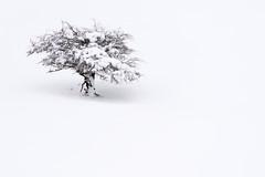 (jonlp) Tags: winter white snow tree nature landscape natura paisaje euskalherria basquecountry navarre elurra zuhaitza nafarroa zuria negua lizarraga paisajea